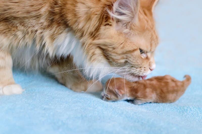 Den röda katten Maine Coon slickar hans kattunge arkivfoto