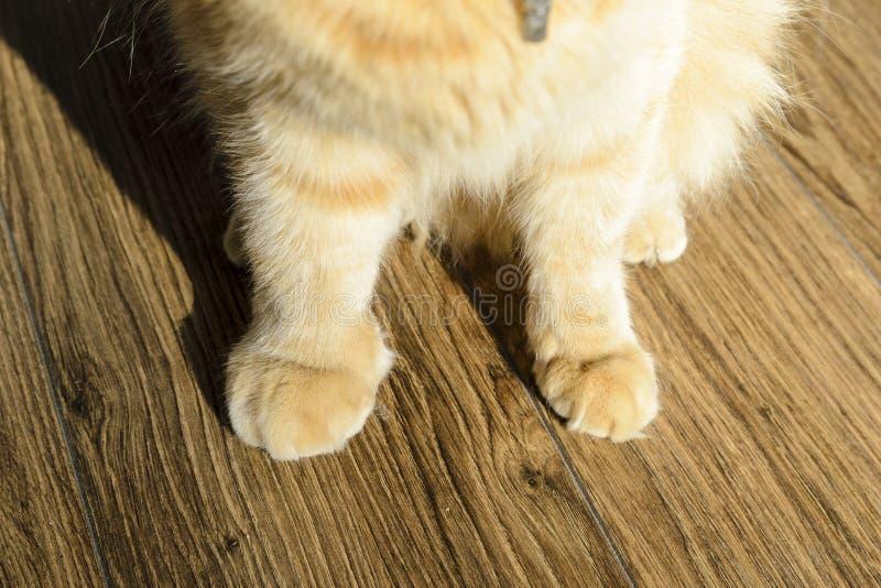 Den r?da katten med sv?lld tafsar, ett brutet tafsar i en katt, begreppet av att att bry sig f?r ett husdjur, royaltyfri fotografi