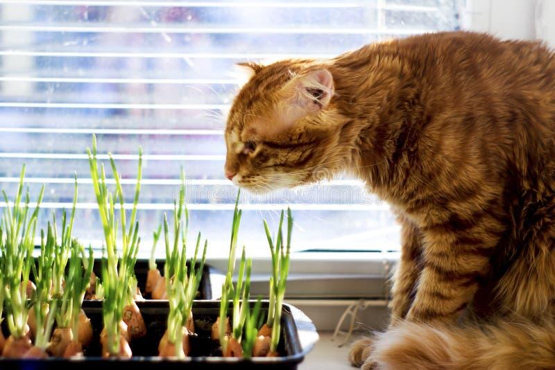 Den röda katten ser och sniffar salladslökarna av barnet royaltyfri foto