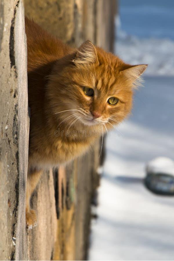 Den röda katten ser ut ur fönstret royaltyfri fotografi