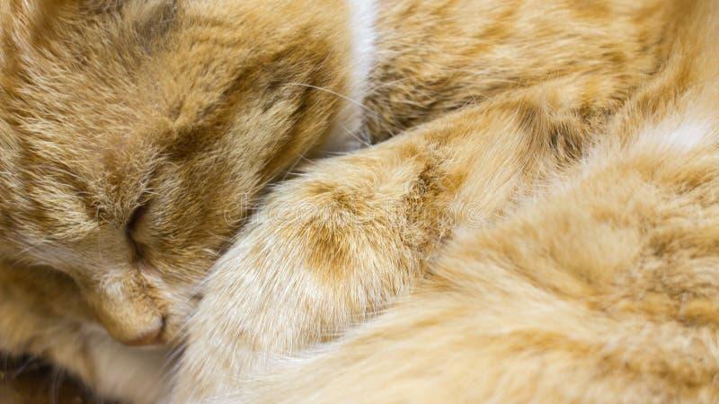 Den röda katten sover tätt upp royaltyfri fotografi