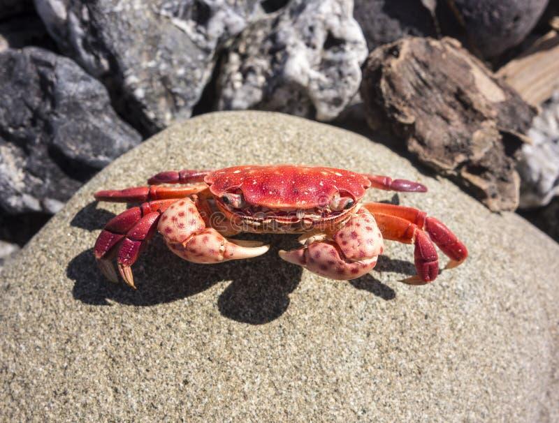 Den röda krabban vaggar på arkivfoton