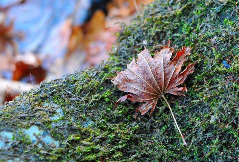 Den röda lönnlövet för hösten ligger på stenen med grön mossa arkivfoton