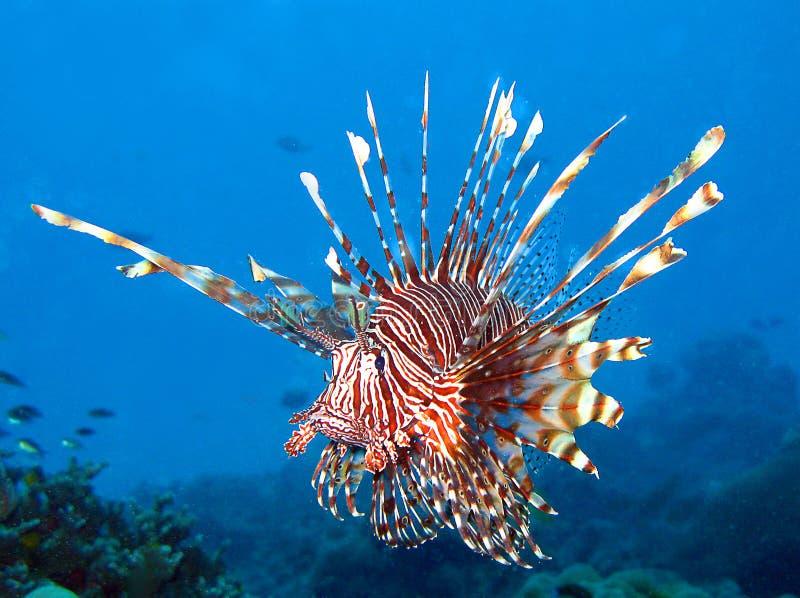 Den röda lionfishen arkivbild