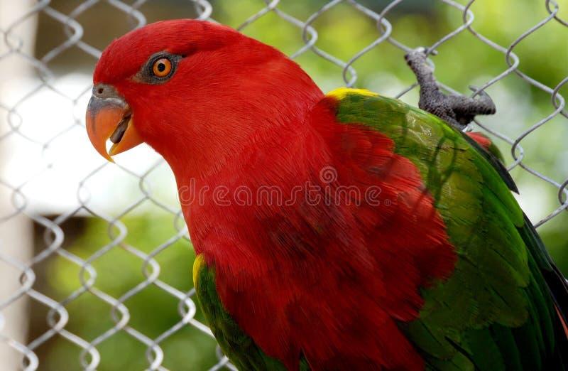 Den röda loryen är en papegoja som ses ofta i vildmarken av Australien med regnbågen Lorikeets royaltyfria foton