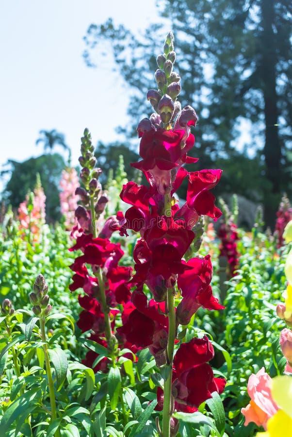 Den röda lupinblomman på fältet, karneval av blomman royaltyfria foton
