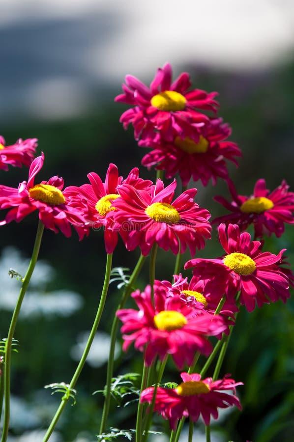 Den röda målade tusenskönan blommar Pyrethrumtusenskönan Pyrethrum var ett släkte fotografering för bildbyråer