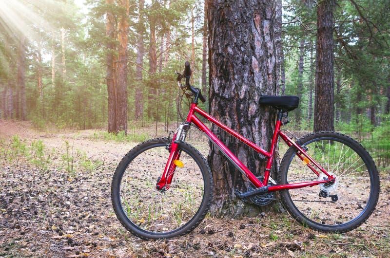 Den röda mountainbiket, cykeln som parkeras av ett stort, sörjer trädstammen nära Forest Trail Sommarmorgon med solstrålar royaltyfri foto