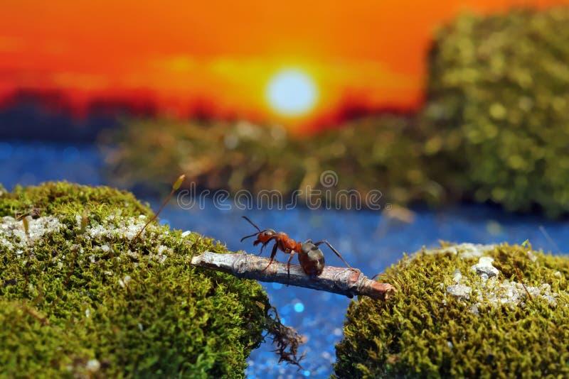 Den röda myran korsar floden på en journal royaltyfria bilder