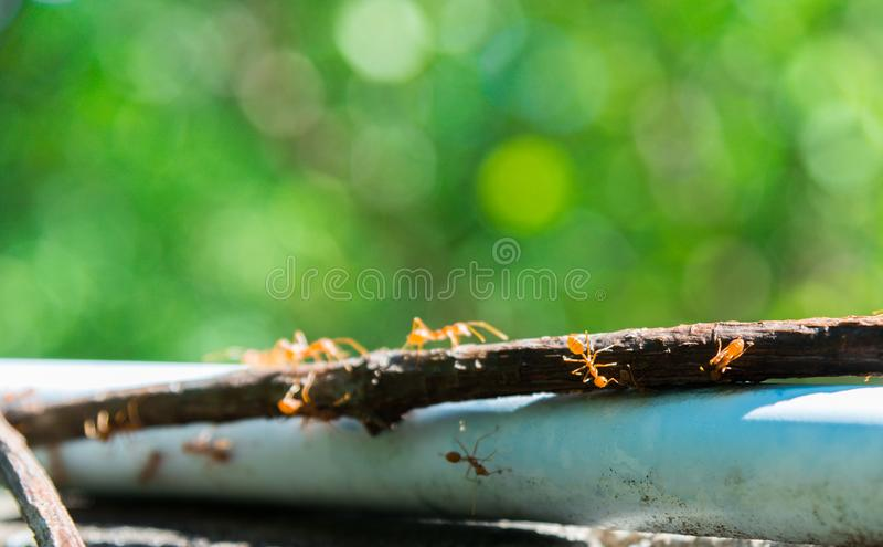 Den röda myraOecophylla smaragdinaen går på en vinranka som överst täckas av det plast- röret arkivfoton