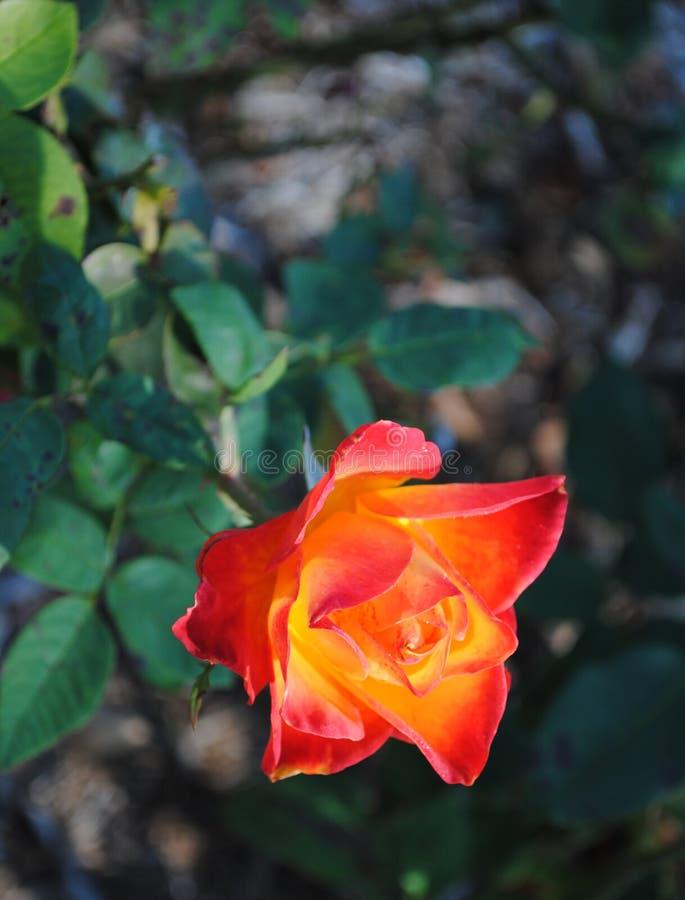 Den röda och gula fireyen steg royaltyfri fotografi