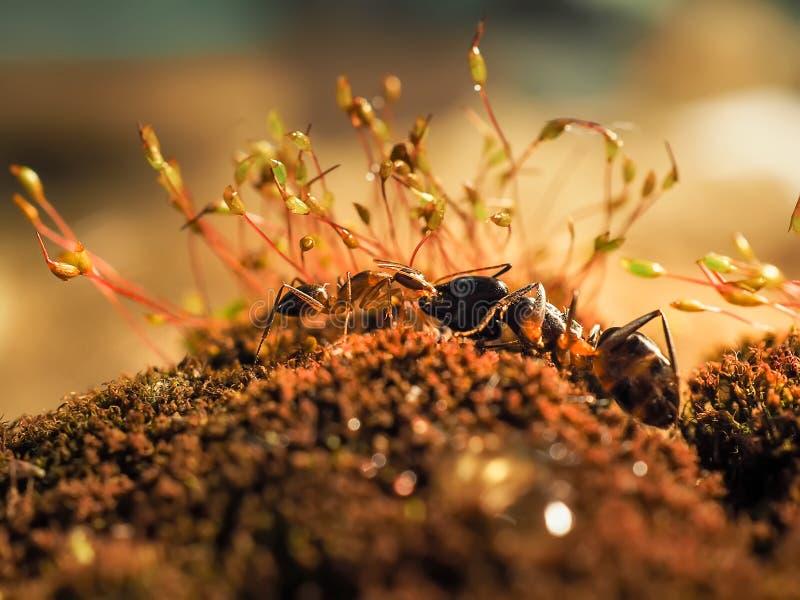 Den röda och svarta myran slogs på sidorna, myra arkivbilder