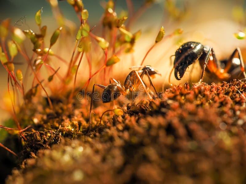 Den röda och svarta myran slogs på sidorna, myra royaltyfri bild