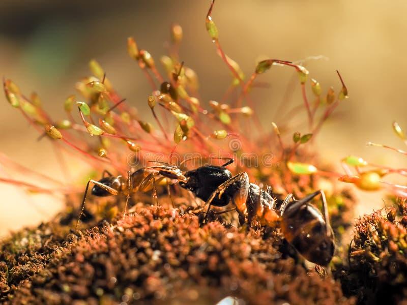 Den röda och svarta myran slogs på sidorna, myra arkivbild