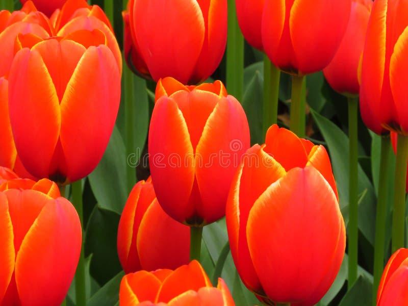 Den röda orange gula tulpanblomman sköt underifrån nära upp Många tulpan som blommar i trädgården arkivbild