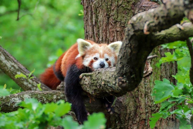 Den röda pandan vilar på trädet royaltyfri bild