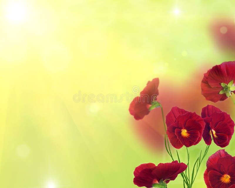 Den röda pansyen blommar på ljust - grön bakgrund royaltyfri bild