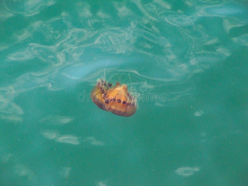 Den röda prickiga manet flyttar sig i turkoshavet royaltyfri foto