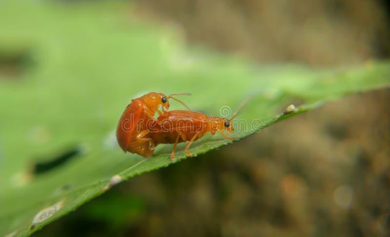 Den röda pumpaskalbaggen parar ihop arkivfoto