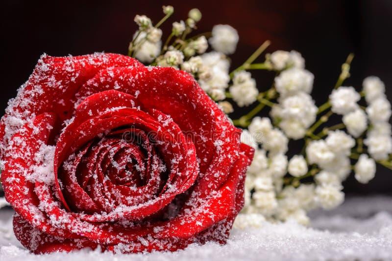 Den röda rosblomman fejkar in snö arkivfoton
