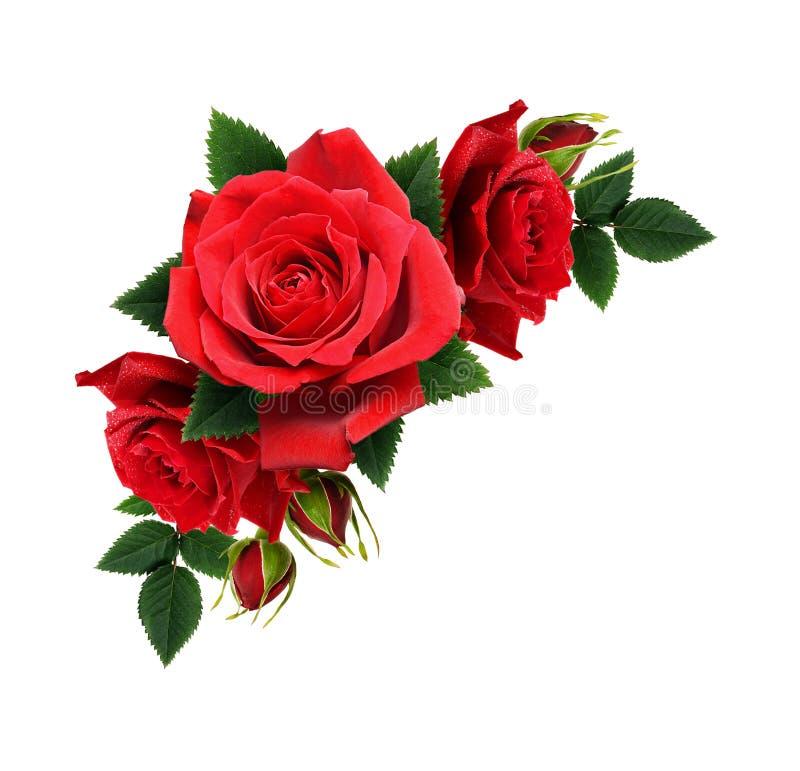 Den röda rosen blommar i hörnordning arkivfoto