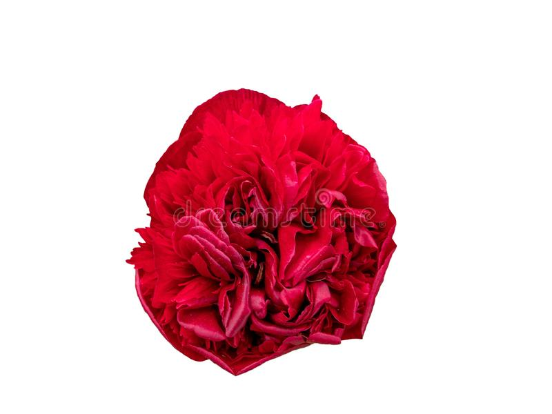 Den röda rosen isoleras på vit bakgrund arkivfoton