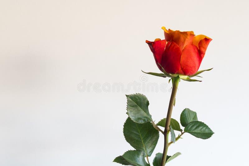 Den röda rosen med fattar och sidor, mot vit bakgrund Utrymme för text fotografering för bildbyråer