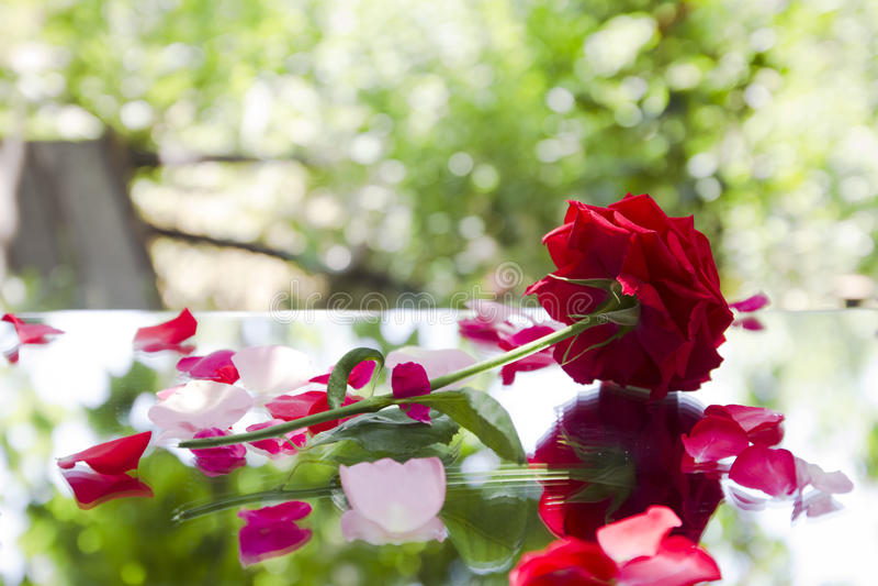 Den röda rosen med kronblad reflekterar arkivfoton