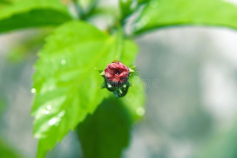 Den röda rosen slår ut blom i morgonträdgården mot arkivbilder