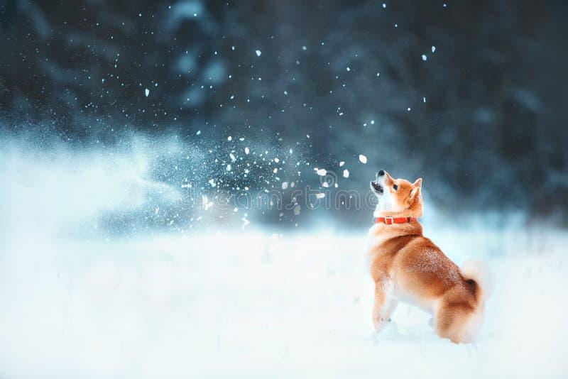 Den röda sibahunden kör på lutningen Spelar den soliga vintern snö-täckte skogen snön på vintern arkivfoto