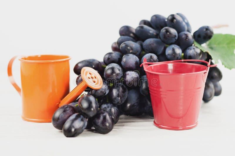 Den röda tomma metallhinken och orange bevattna lägger in beside av gruppen av nya mogna blåa druvor på gamla trävita plankor arkivfoto