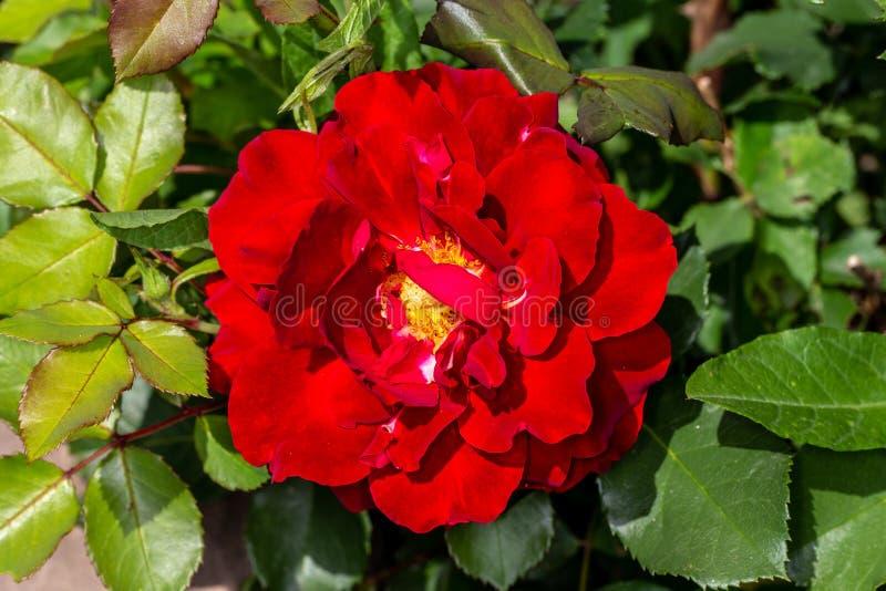Den röda trädgården steg Blommande lilaros Bush royaltyfri bild