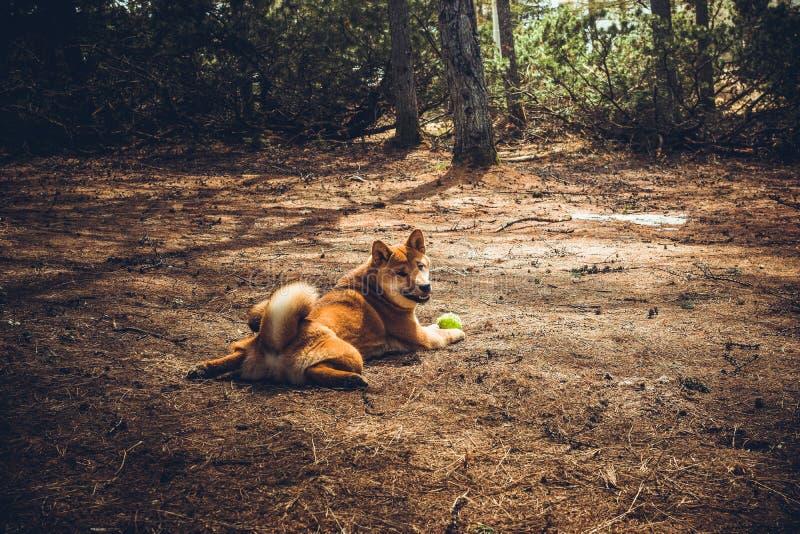 Den röda unga hundshibaen-inu spelar i natur royaltyfri foto
