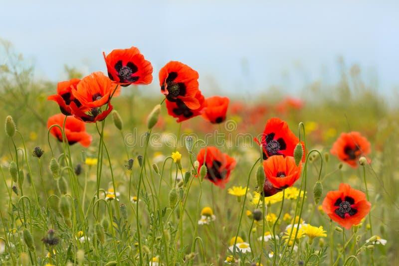 Den röda vallmo blommar på fältet med kamomill fotografering för bildbyråer