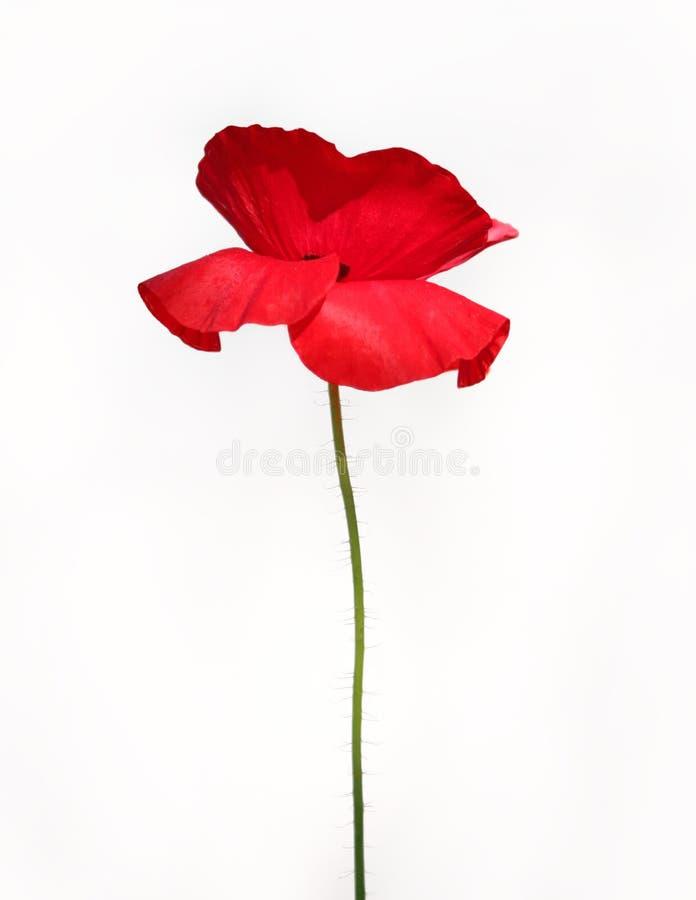 den röda vallmon single royaltyfri foto