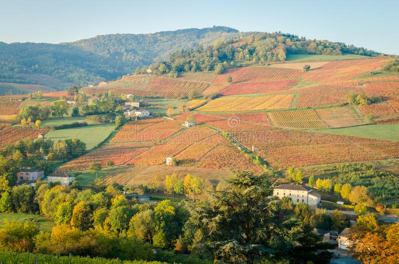 Den röda vingården arkivfoton