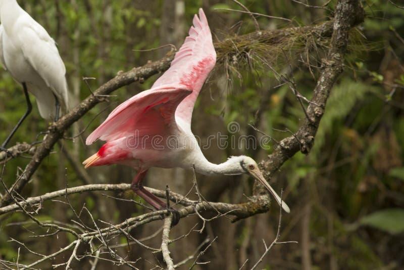 Den rödaktiga ägretthägret sätta sig på en filial i de Florida evergladesna arkivbild