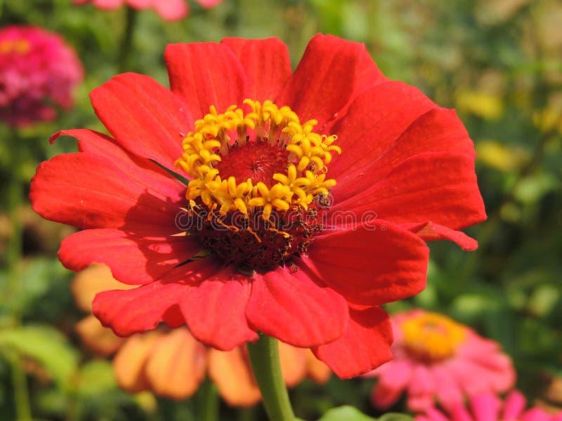 Den rödaktiga blomman royaltyfri foto