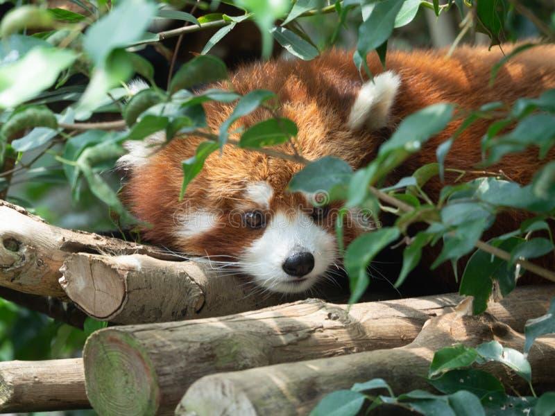 Den r?da pandan, Firefoxen eller Lesser Panda arkivbilder