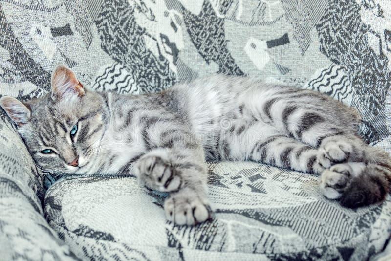 Den randiga gråa katten med blåa ögon som ligger på stolen av liknande färger f?rst?lla f?rlagen arkivfoto