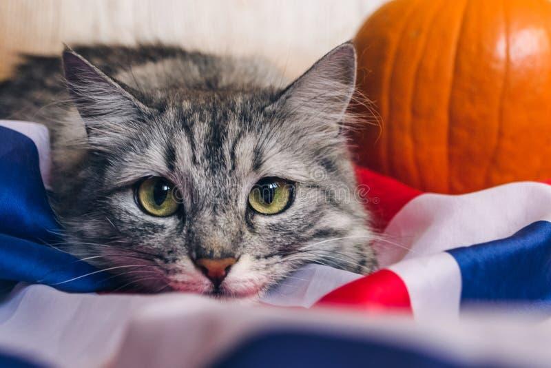 Den randiga gråa katten ser playfully rak på kameran pumpor på den brittiska flaggan Tapeter för ferie arkivbilder