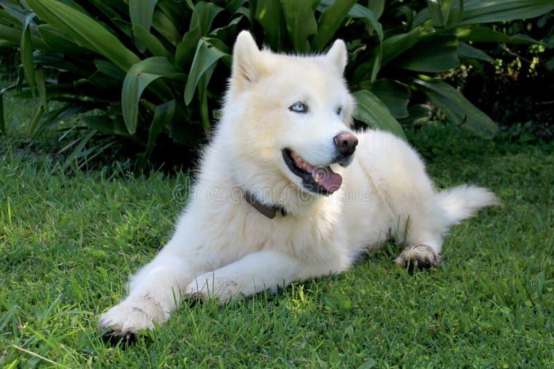 Den rena vita siberianen Husky Dog med blåa ögon stänger sig upp ståenden royaltyfri foto