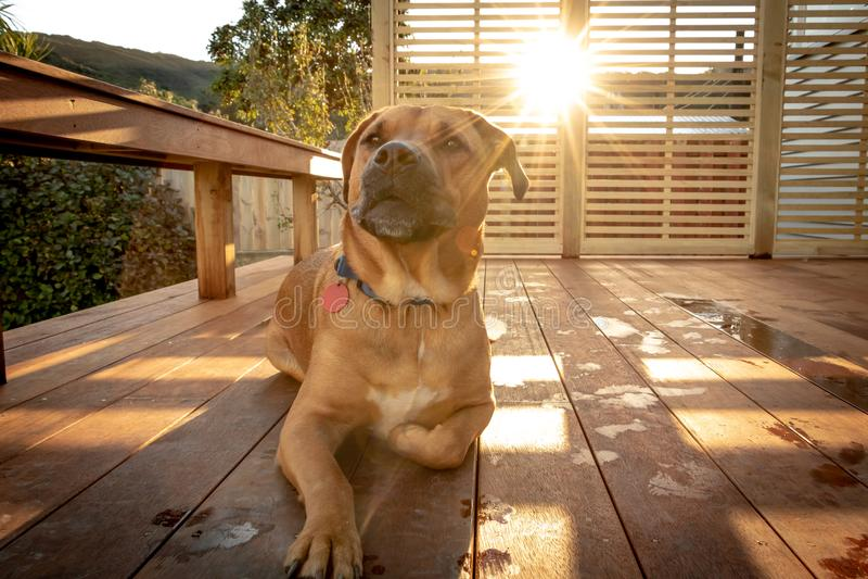 Den Rhodesian hunden sitter på farstubron som solnedgångar på sommardag royaltyfri bild