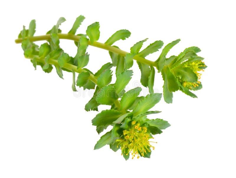 Den Rhodiola roseaen eller guld- rotar, steg rotar, roseroot, Aarons stång, arktisk rotar, konungens krona, lignumrhodium, orpin  royaltyfri fotografi
