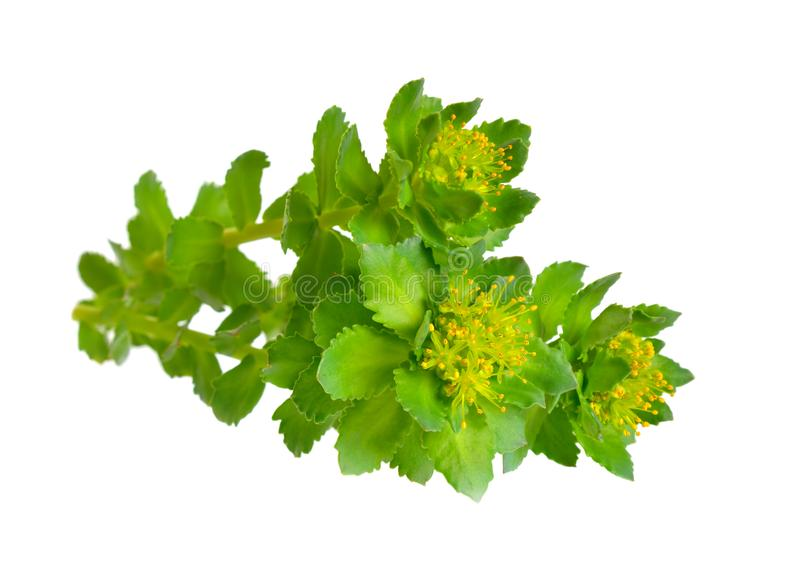 Den Rhodiola roseaen eller guld- rotar, steg rotar, roseroot, Aarons st?ng, arktisk rotar, konungens krona, lignumrhodium, orpin  arkivfoto
