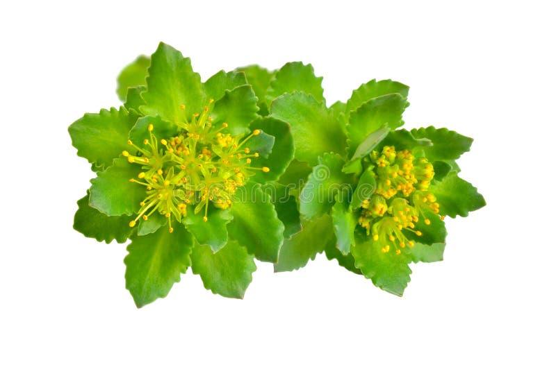 Den Rhodiola roseaen eller guld- rotar, steg rotar, roseroot, Aarons st?ng, arktisk rotar, konungens krona, lignumrhodium, orpin  royaltyfri foto