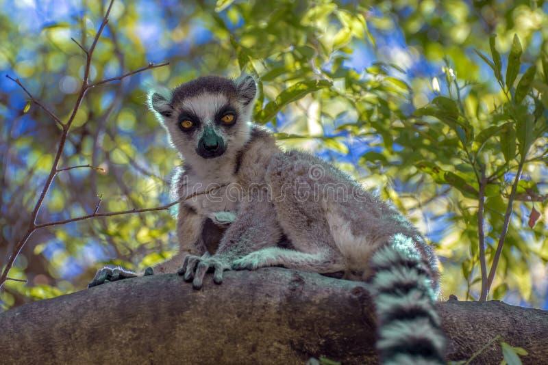 Den Ring Tailed Lemur kataen, stänger sig upp dentailed makin, Madagascar som sitter på trädet royaltyfria bilder