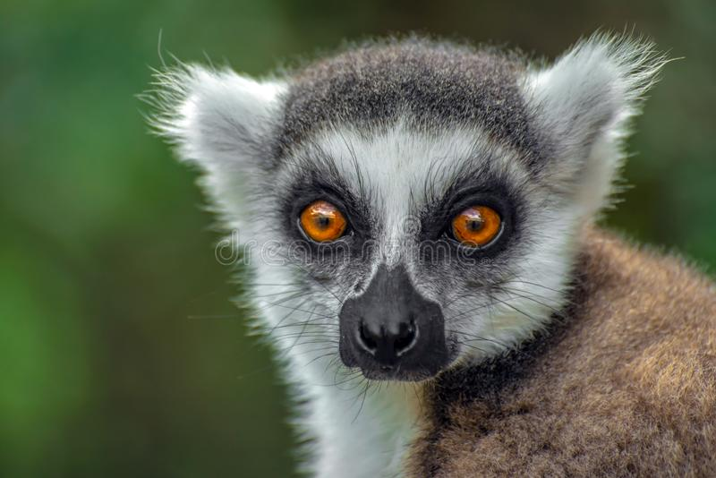 Den Ring Tailed Lemur kataen, stänger sig upp dentailed makin, Madagascar, stående royaltyfria bilder