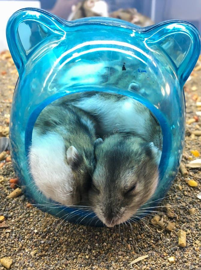 Den Roborovski hamsterPhodopus roborovskiien som också är bekant som ökenhamstrar, eller Robos är det minst av tre art av hamster royaltyfria foton