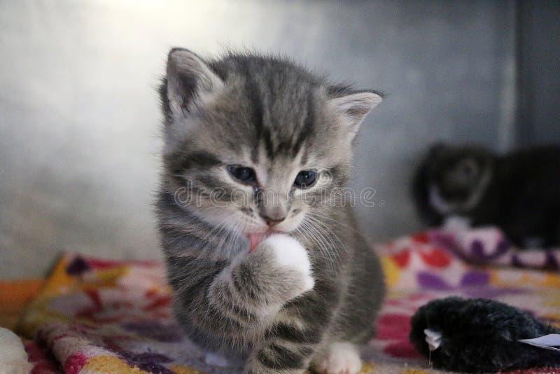 Den roliga gråa kattungen tvättar framsidan med tafsar royaltyfri fotografi